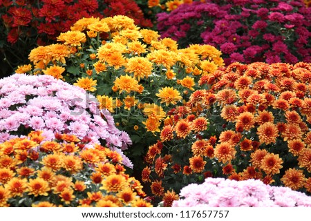 Beautiful flowers of chrysanthemums - stock photo