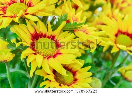 Beautiful flowers of chrysanthemums - stock photo