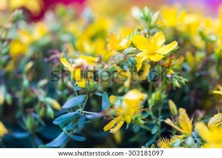 Beautiful flowers of St. John's wort. Wild flowers growing on meadow or fields. St. John's wort is herb used in alternative medicine or homeopathy - stock photo