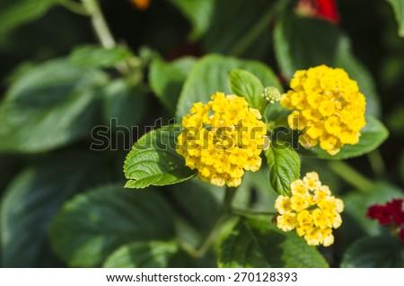 Beautiful flowers of yellow lantana - stock photo