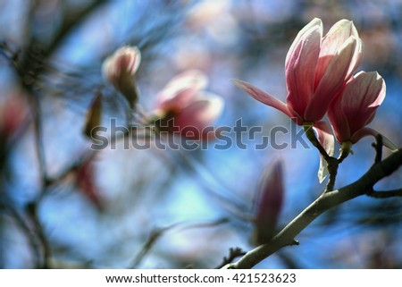 Beautiful flowers on a bokeh background. Spring magnolia flowers, natural abstract soft floral background. Bokeh. Blossoming magnolia flowers in spring time. Spring blossom background. Floral border. - stock photo
