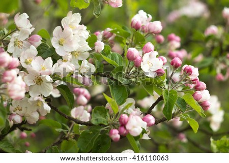 beautiful flowers on the apple tree in nature - stock photo