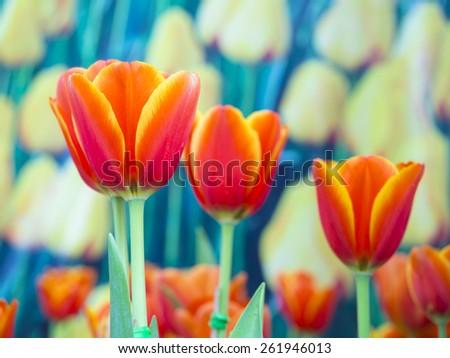 beautiful flowers on the outdoor garden, orange tulips - stock photo