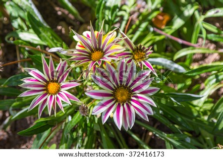 Beautiful flowers with petals of colors - stock photo