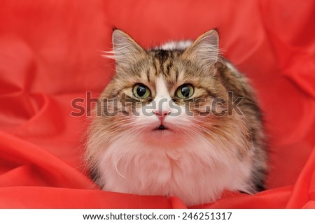 Beautiful fluffy cat on a red background - stock photo