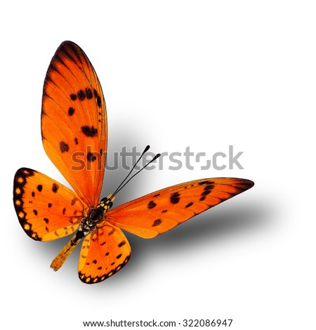 Beautiful flying orange butterfly, the Tawny Coster (Acraea terpsicore) with soft shadow beneath on white background - stock photo