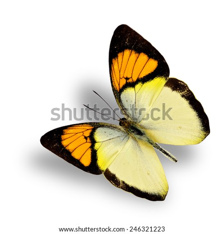 Beautiful flying orange tip butterfly, with soft shadow beneath - stock photo
