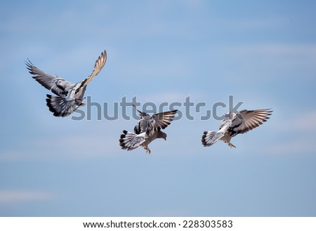 beautiful flying pigeons on blue sky  - stock photo