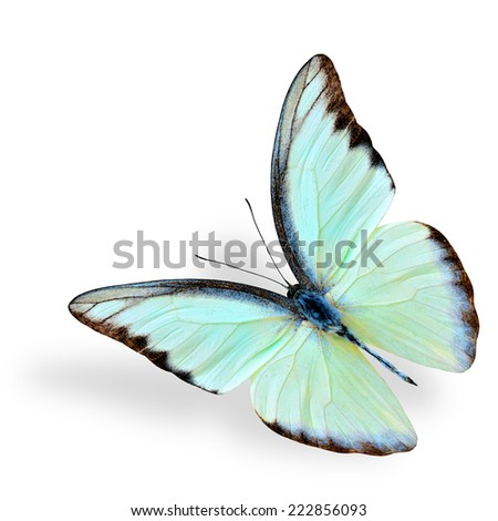 Beautiful flying white butterfly, chocolate albatross, with soft shadow beneath - stock photo