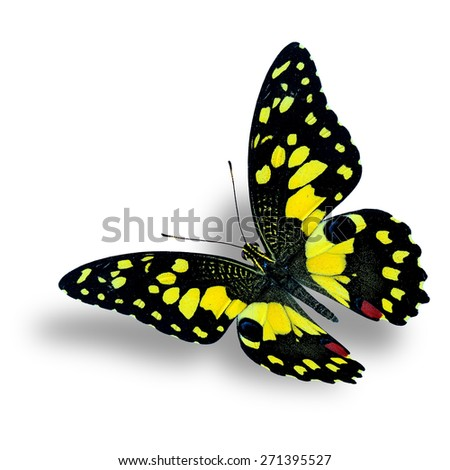Beautiful Flying yellow butterfly, the Lime butterfly isolated on white background with nice soft shadow beneath - stock photo