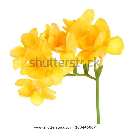 Beautiful freesia flowers, isolated on white - stock photo