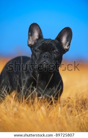 Beautiful french bulldog puppy - stock photo