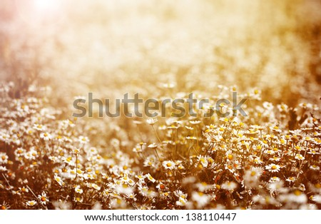 Beautiful fresh chamomile meadow in warm sunset light, selective focus, fine art, greeting card, abstract floral background, summer nature - stock photo