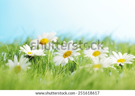 Beautiful fresh chamomiles  in grass, blue sky on background - stock photo