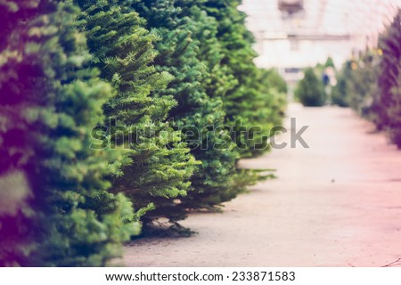 Beautiful fresh cut Christmas trees at Christmas tree farm. - stock photo
