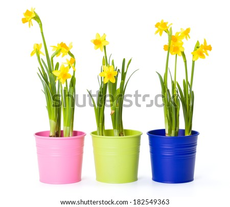 Beautiful fresh daffodils in colorful tin pails - stock photo