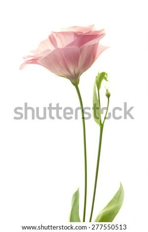 Beautiful fresh pink rose flower isolated on white background - stock photo
