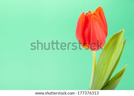 Beautiful fresh red tulips with their green leaves symbolic of spring and love as a gift for a loved one, closeup of the flowers isolated on white - stock photo