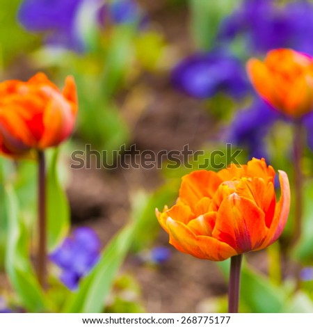 beautiful fresh spring flowers orange tulips nature, shallow depth of field concept - stock photo