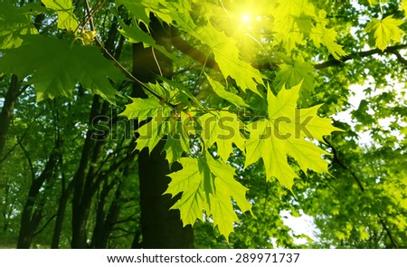 Beautiful fresh spring leaves of maple tree and sunlight - stock photo