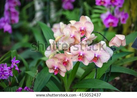 beautiful fresh vanda orchid flowers on the decoration garden - stock photo