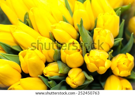 Beautiful fresh yellow tulips flower macro closeup made in garden for love postcard or wallpaper, holidays and celebrations bouquet - stock photo