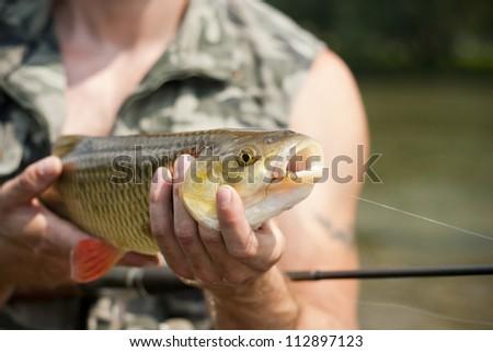 Beautiful freshwater chub caught on a bait. - stock photo