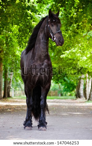 Beautiful Friesian horse outdoors - stock photo