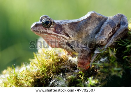 Beautiful frog on moss and back-light - stock photo