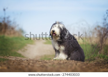 beautiful fun Bearded Collie dog Old English Sheepdog puppy sitting - stock photo