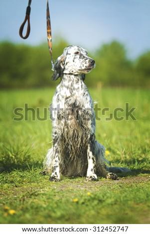 beautiful fun english setter dog puppy hunting and sitting - stock photo