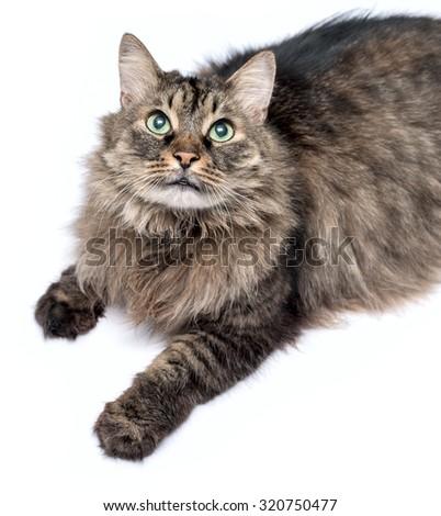 Beautiful furry adult cat on white background - stock photo