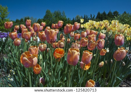 Beautiful garden of tulips. A perfect floral background. - stock photo