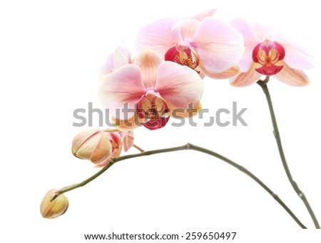 Beautiful gentle branch of pink romantic orchid flowers isolated on white background - stock photo
