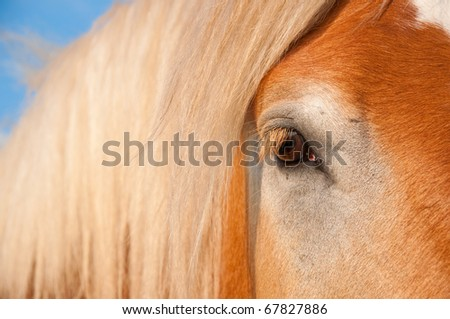 Beautiful gentle eye of a huge Belgian Draft horse - stock photo