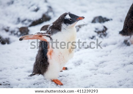 Beautiful gentoo penguin on the snow in Antarctica - stock photo