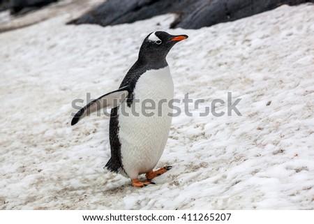 Beautiful gentoo penguin walking on snow in Antarctica - stock photo