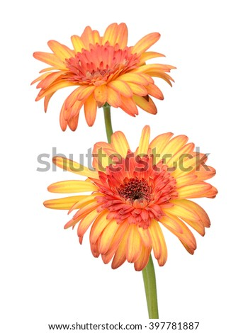Beautiful Gerber flower isolated on white - stock photo