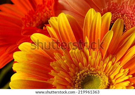 Beautiful Gerber flowers natural background - stock photo
