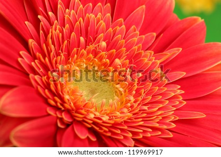 beautiful gerbera flower, close up - stock photo