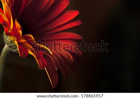 Beautiful gerbera flower on black background - stock photo