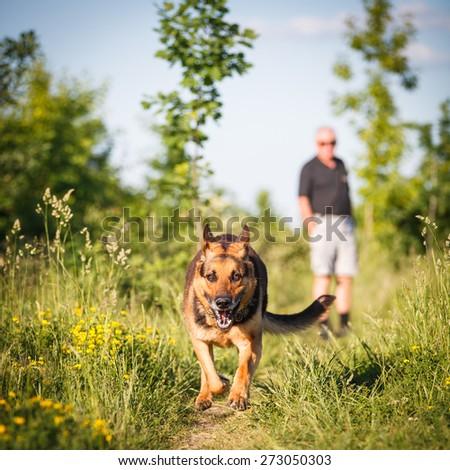Beautiful German Shepherd Dog (Alsatian) outdoors - stock photo