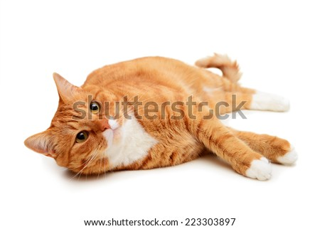 beautiful ginger cat, British Shorthair, on a white background - stock photo