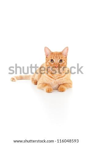 beautiful ginger cat lying isolated on white background - stock photo