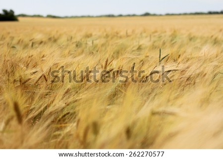 Beautiful Gold wheat field on the background - stock photo