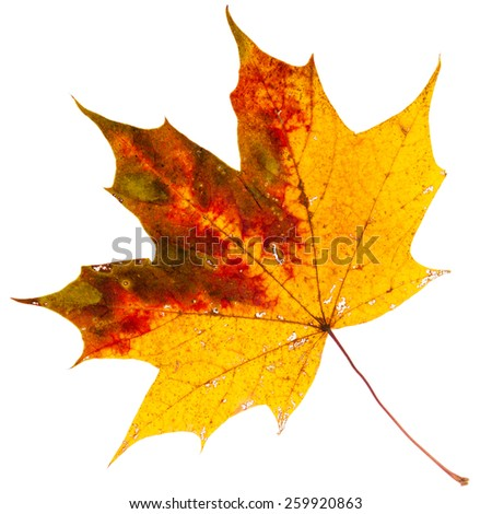 Beautiful golden dry maple leaf isolated on white background - stock photo