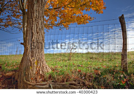 Beautiful golden Fall tree with fence, pasture and blue sky - stock photo