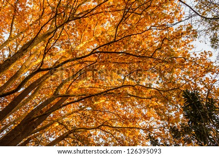 Beautiful golden leaves and tree trunks in Autumn in the forest in Greece - stock photo