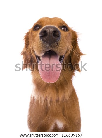 Beautiful Golden Retriever dog headshot isolated on white background - stock photo