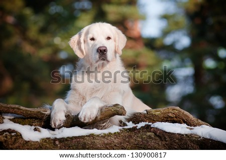 beautiful golden retriever dog portrait in the forest - stock photo